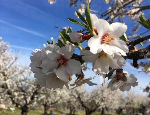 Ven a ver los Almendros en Flor
